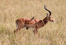 General knowledge about Impala