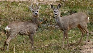Learn more about Roe deer