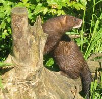 Learn more about European mink