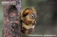 Learn more about American red squirrel