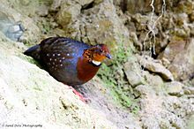 Chestnut-breasted partridge