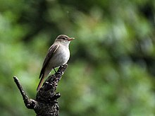 Rusty-tailed flycatcher