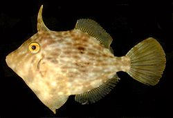 General knowledge about Filefish