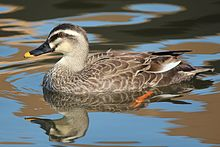 Eastern spot-billed duck