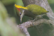 Lesser yellownape