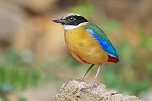 General knowledge about Blue-winged pitta