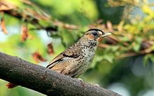 Rufous-chinned laughingthrush