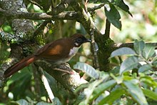 Grey-sided laughingthrush